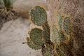 Cactus - Barker Dam Nature Trail (15834326479).jpg