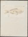 Caesio argenteus - 1774-1804 - Print - Iconographia Zoologica - Special Collections University of Amsterdam - UBA01 IZ13000297.tif