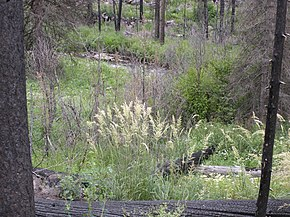Description de l'image Calamagrostis rubescens.jpg.