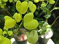 Calceolaria glandulosa2.jpg