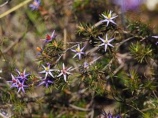<i>Calectasia cyanea</i> species of plant