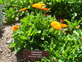 Calendula-officinalis-20080330.JPG