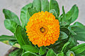 Calendula officinalis 31122014 (1).jpg