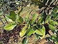Calophyllum inophyllum leaves 03.JPG