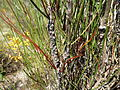 Calothamnus longissimus (fruits).JPG