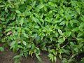 Calyptocarpus vialis Less. (6186281764).jpg