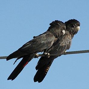 Banks-Rabenkakadus, Paar. Links das Männchen, das noch nicht den dunkelgrauen Schnabel ausgewachsener Männchen aufweist