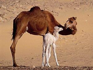 ناقة عربيَّة مع حوَّارها (صغير الجمل الرضيع الذي لم يتجاوز عُمره ستة أشهر) على مقرُبة من مدينة طرفاية، بِالمغرب