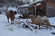 Camelus bactrianus in Zurich Zoo 1.jpg