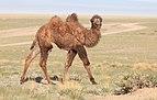 Camelus bactrianus in western Mongolia 06.jpg