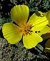 Camissoniopsis cheiranthifolia.JPG