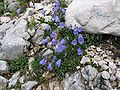 Campanula cochleariifolia.jpg