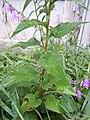Campanula rapunculoides (4997357988).jpg