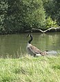 Canada Goose by the Thames - geograph.org.uk - 946963.jpg