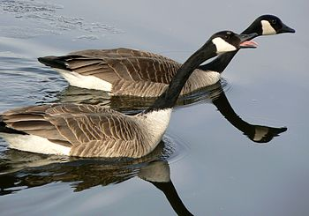 Canada Geese in mating ritual