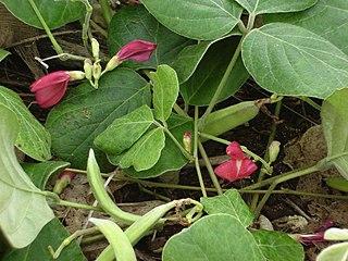 <i>Canavalia</i> genus of plants