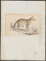 Canis variegatus - 1833-1866 - Print - Iconographia Zoologica - Special Collections University of Amsterdam - UBA01 IZ22200115.tif