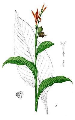 Canna indica Blanco1.4-cropped.jpg