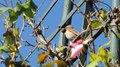 File:Canto del Zonotrichia capensis.webm