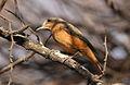 Cape Rock Thrush - female, Monticola rupestris, at Suikerbosrand Nature Reserve, Gauteng, South Africa (14628774299).jpg