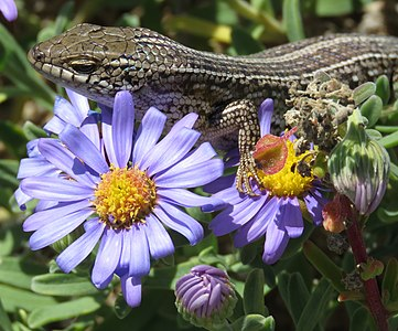 Cape Skink (Trachylepis capensis) on purple Aster flowers.