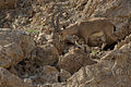 Capra nubiana, Israel 3.jpg