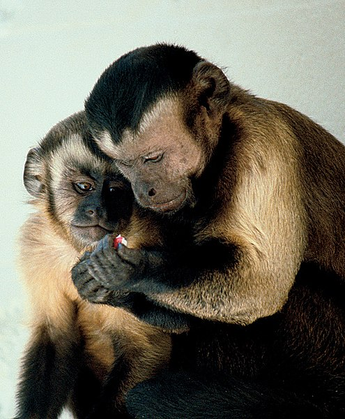 File:Capuchin monkeys sharing.jpg