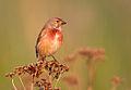 Carduelis cannabina vogelartinfo chris romeiks YR7F1302.jpg