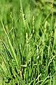 Carex.curta2.-.lindsey.jpg