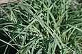 Carex flacca 5zz.jpg