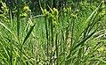 Carex pallescens plant (5).jpg