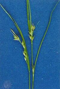 Carexrossii