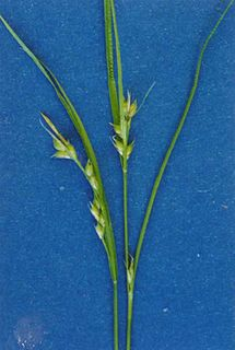 <i>Carex rossii</i> species of plant