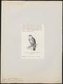 Carpophaga rubracera - 1872 - Print - Iconographia Zoologica - Special Collections University of Amsterdam - UBA01 IZ15600099.tif