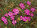 Caryophyllaceae - Dianthus pavonius-3.JPG