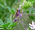 Case bearing Micro moth larvae (31322537074).jpg