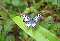 Castalius rosimon - Common Pierrot 31.jpg
