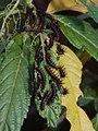 Caterpillars of Acraea terpsicore (Linnaeus, 1758) – Tawny Coster feeding on leaves of Turnera ulmifolia.jpg