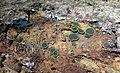 Catinella olivacea 12932814.jpg