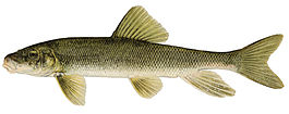 Catostomus commersoni.jpg