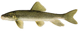 Catostomus commersoni