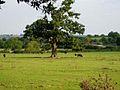 Cattle grazing at Holberrow Green - geograph.org.uk - 571171.jpg