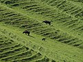 Cattle on hillside below Morgan's Hill - geograph.org.uk - 1345942.jpg