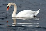 Cavalierelatino - Swan in the lake with reflection (by).jpg