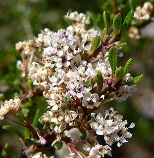 <i>Ceanothus ophiochilus</i> species of plant