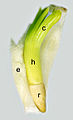 Cedrus embryo.jpg