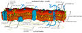 Cell membrane detailed diagram nl2.png