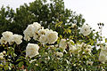 Cemetery white roses at Theydon Bois, Essex, England.JPG