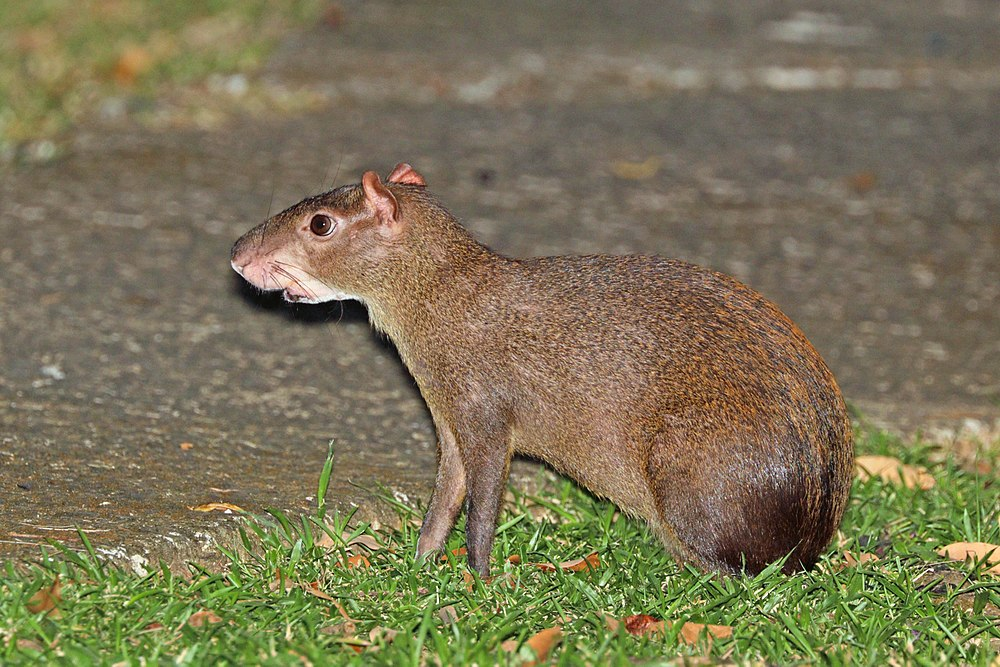 The average litter size of a Central American agouti is 1