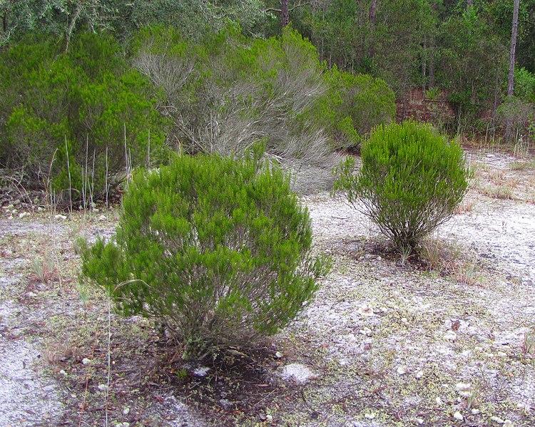 File:Ceratiola ericoides bushes.jpg